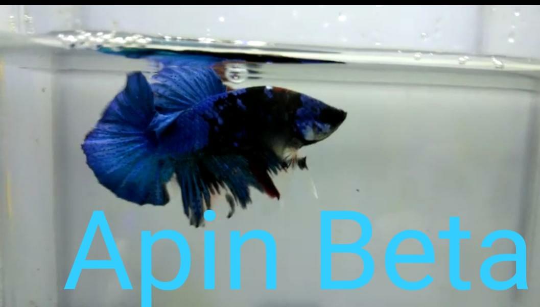 Apin Beta